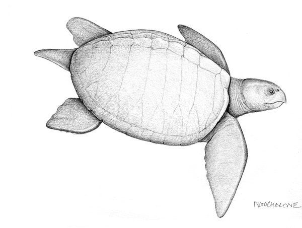 Illustration of turtle Notochelone costata