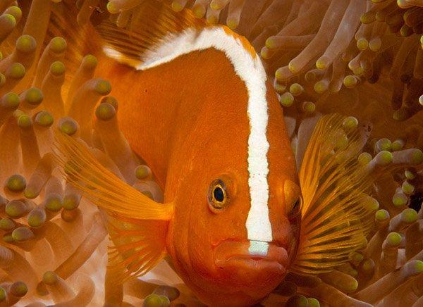 Orange Anemonefish, Amphiprion sandaracinos