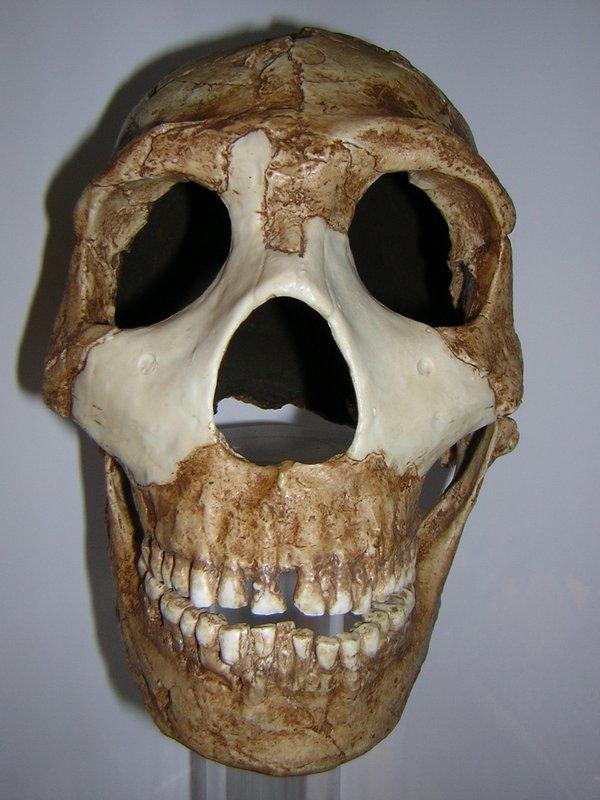 Skull cast Homo neanderthalensis Amud 1 front