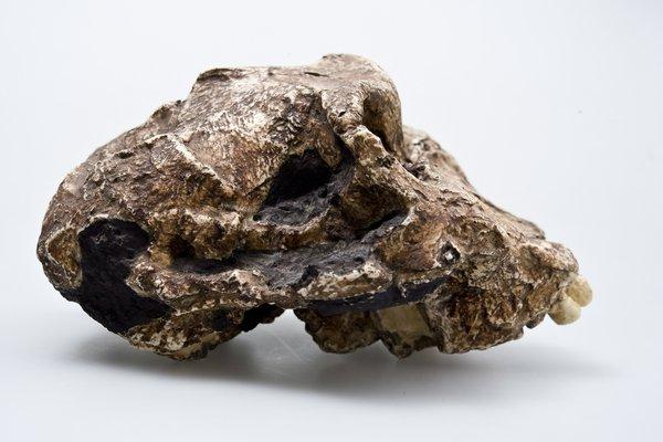 Australopitheus robustus