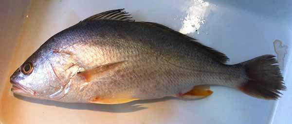 Silver Jewfish, Nibea soldado