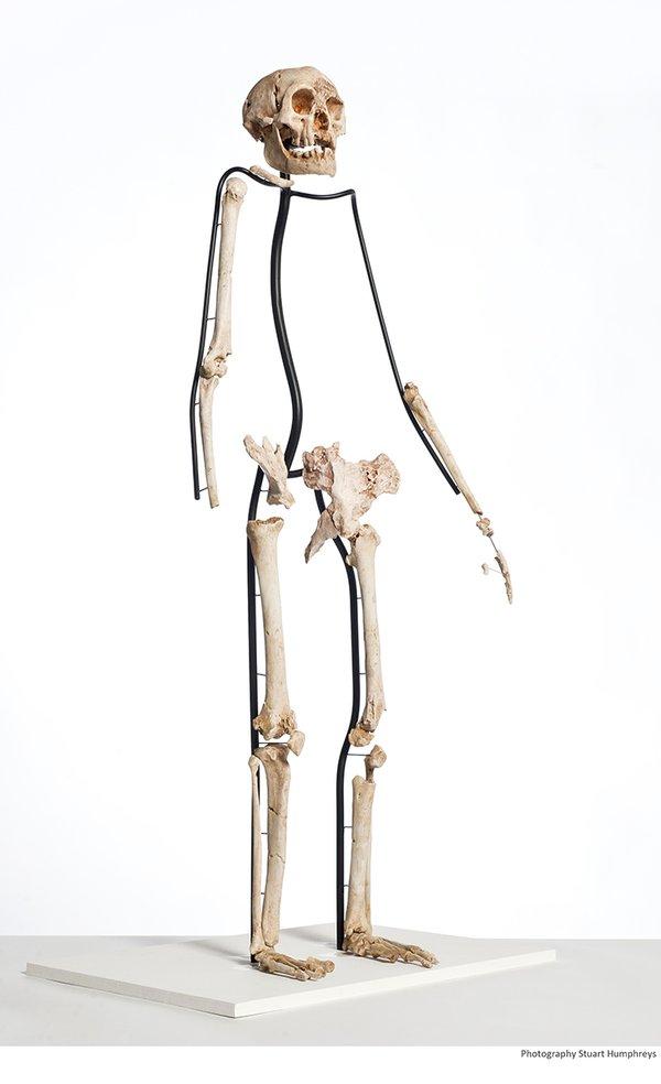 Homo floresiensis articulation.