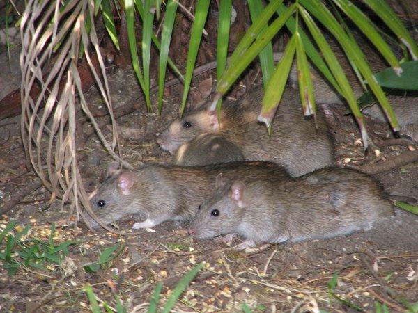 Brown Rat family