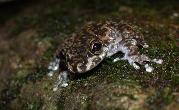 The Endangered Waterfall Frog, <i>Litoria nannotis</i>
