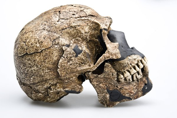 Skhul 5 skull Homo sapiens side view