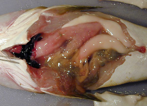 Blood - Dissection of an Eastern Blue-spotted Flathead