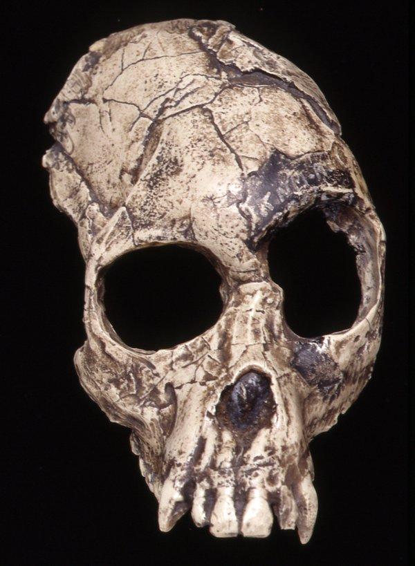 Cast skull Proconsul africanus