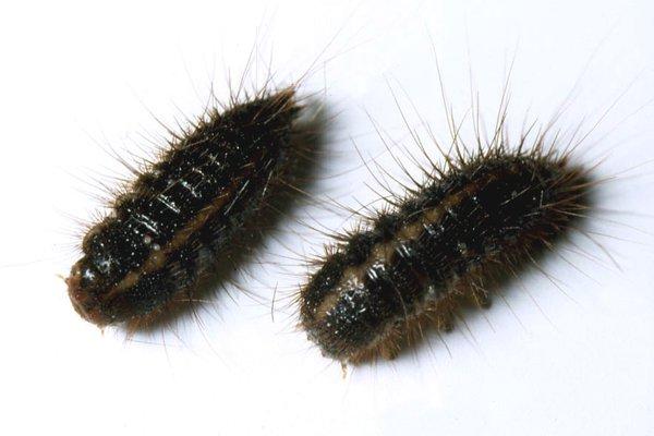 Hide beetle larvae