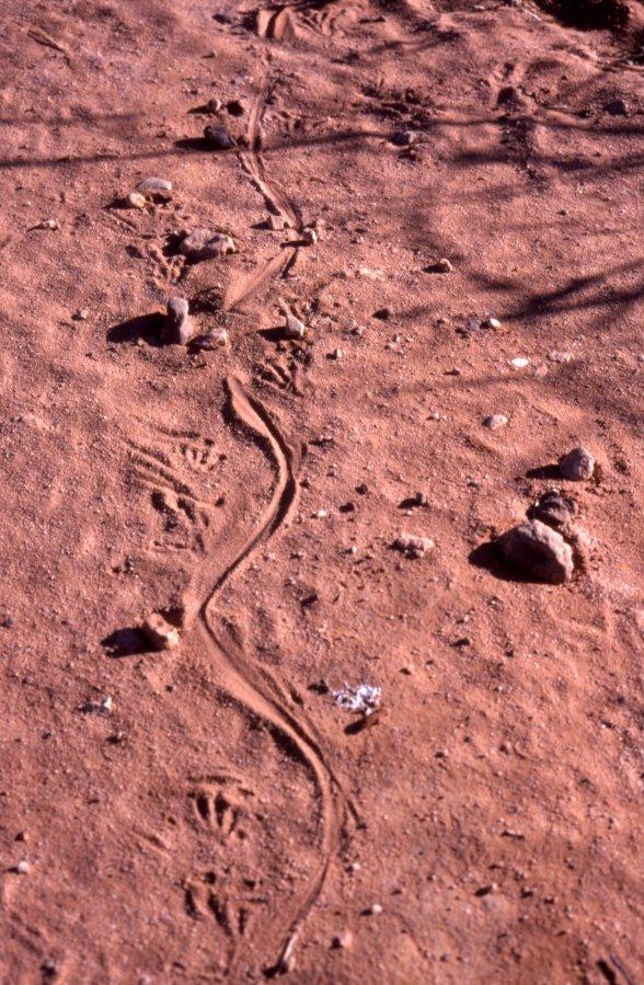 Goanna tracks in red sand