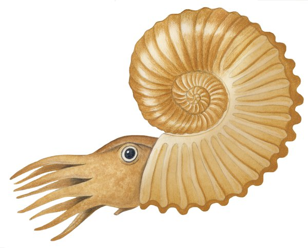 Illustration ammonite