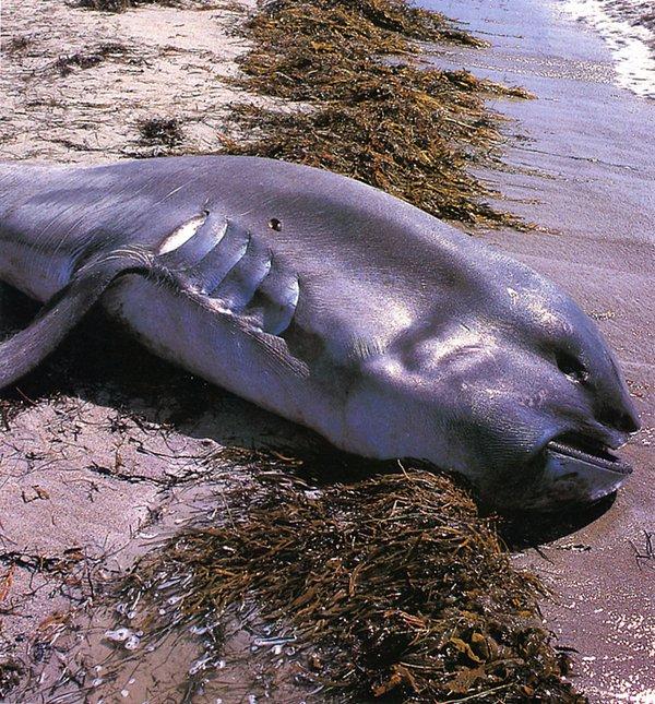 Megamouth Shark, Megachasma pelagios