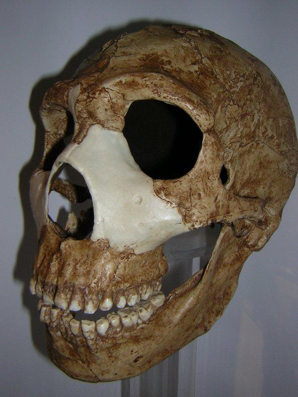 Skull cast Homo neanderthalensis Amud 1