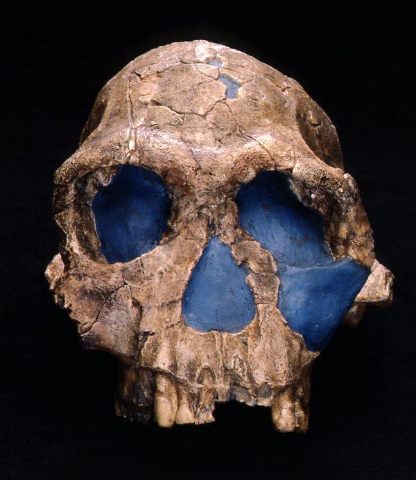 Skull cast homo habilis 1813 - Front view Homo habilis skull cast