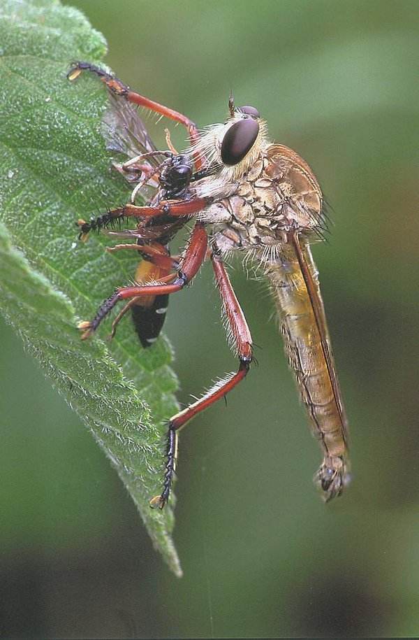 Robber Fly with wasp - James Thomson