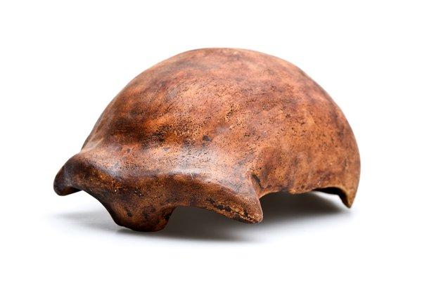 Neanderthal 1 skullcap Homo neanderthalensis angled view