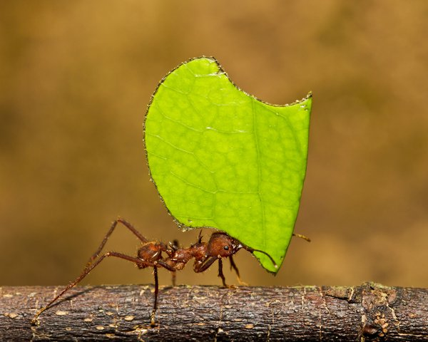 Leaf Cutter Ant - Ken Griffiths
