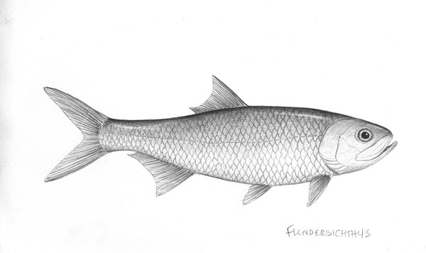 Illustration of flindersichthys denmeadi