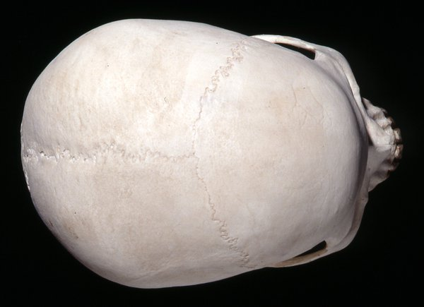 Top view Homo sapiens skull