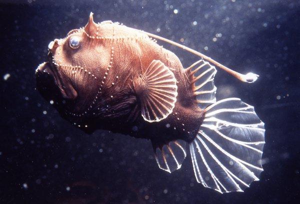 A deepsea anglerfish, Bufoceratias wedli