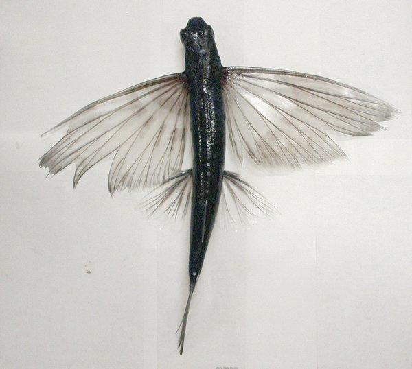 A flyingfish, Cheilopogon sp