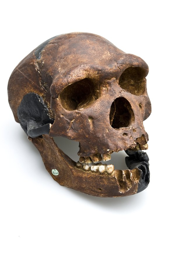 Arago Skull & Jaw