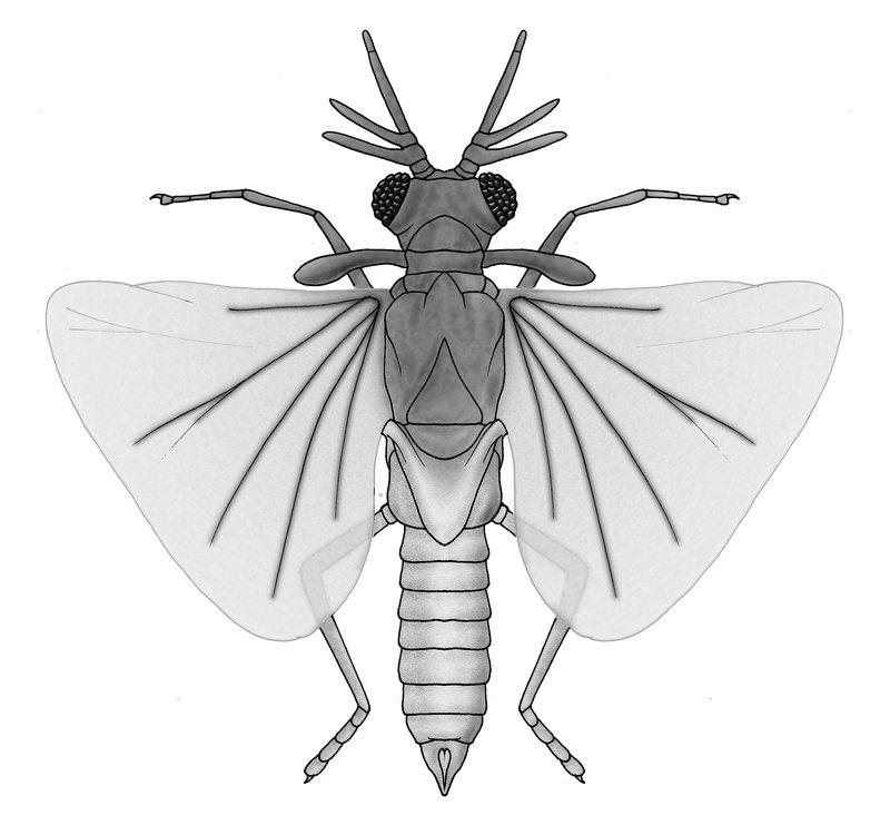 Strepsiptera