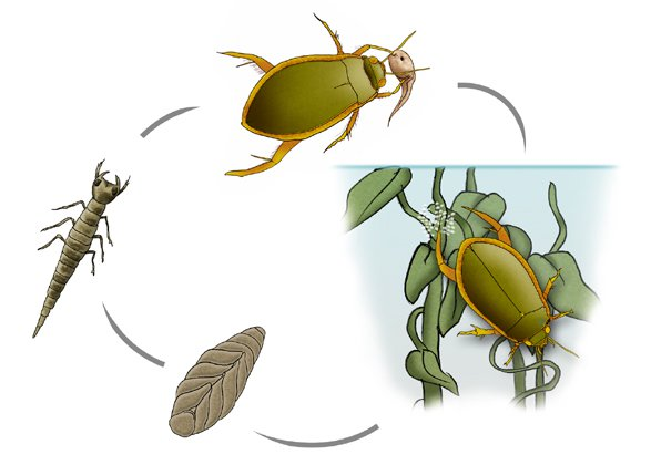 Diving Beetle life cycle - The Australian Museum