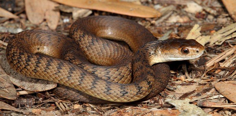 Rough-scaled Snake Tropidechis carinatus