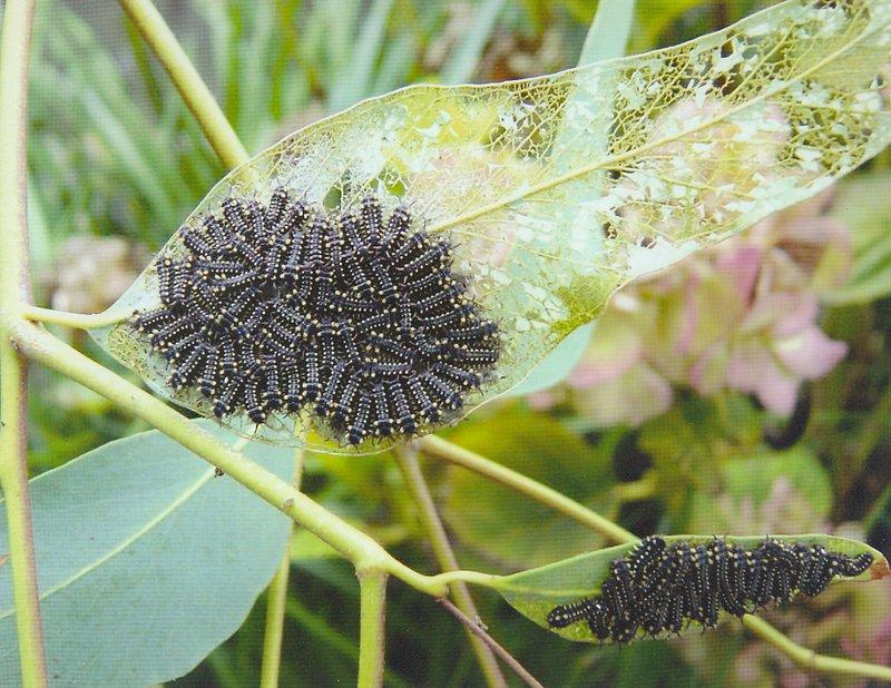 CaterpillarCup moth Caterpillars