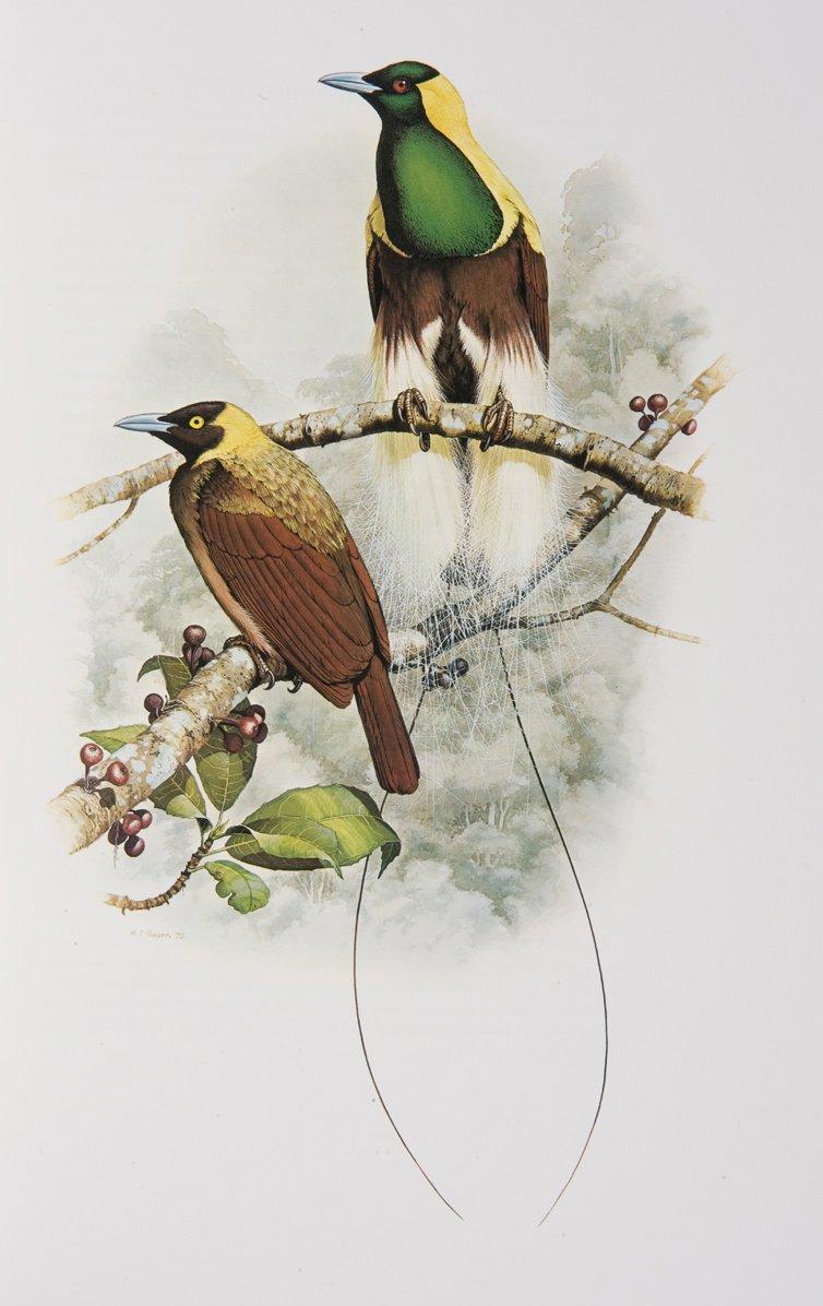 Emperor Bird of Paradise