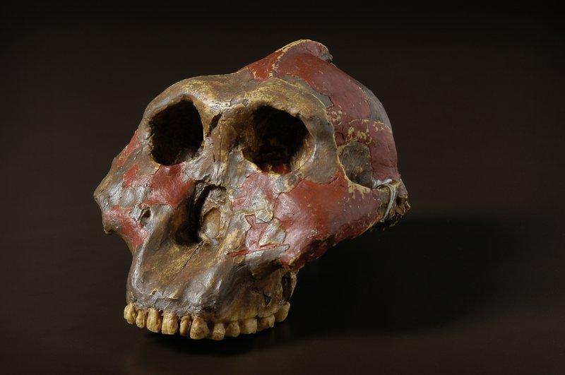 Resultado de imagen para paranthropus robustus