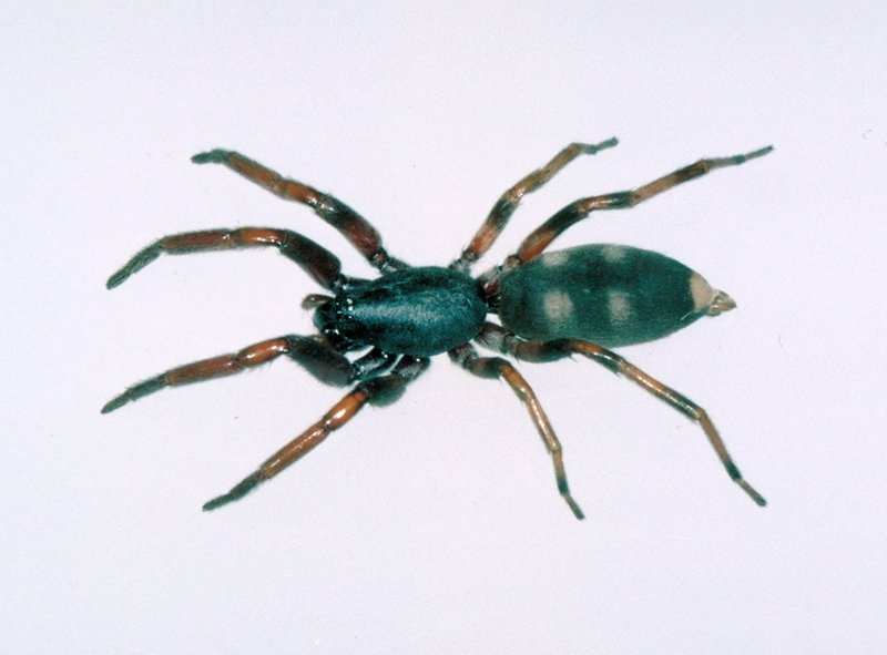 Some_image.width 800.47923e5 white tailed spider the australian museum