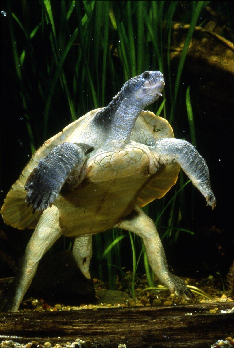 Mary River Turtle, Elusor macrurus