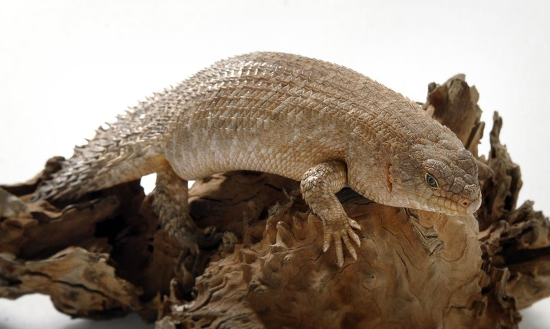 Gidgee Skink with white background