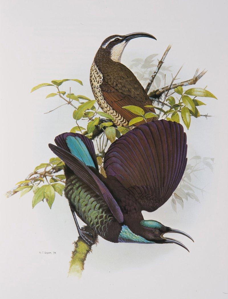 Paradise Riflebird