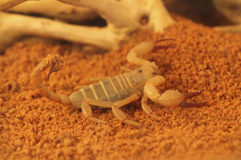 Desert Scorpion - The Australian Museum
