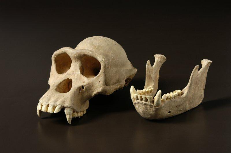 Male Chimpanzee, Pan troglodytes, Skull
