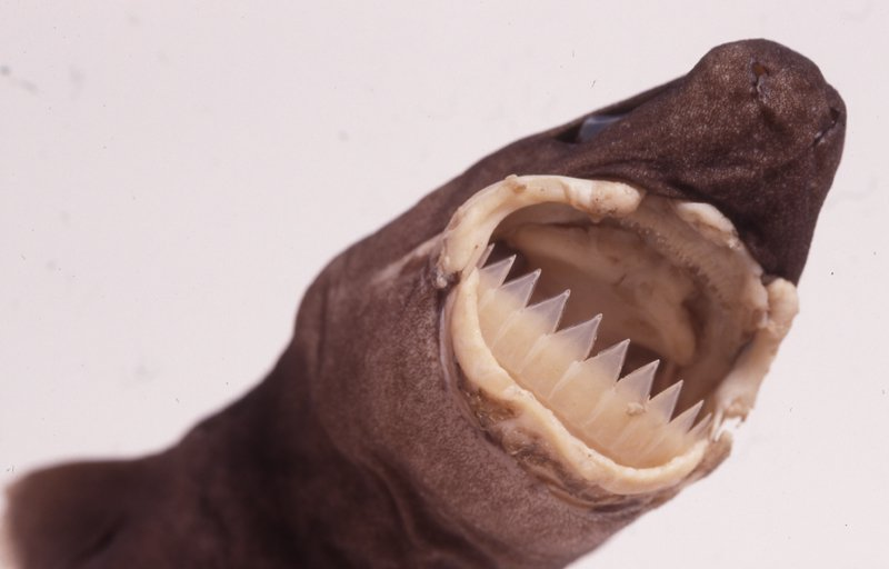 Largetooth Cookiecutter Shark, Isistius plutodus
