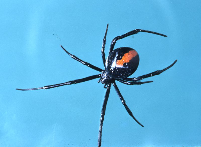 Spiders Seem To Be Getting More >> Redback Spider The Australian Museum