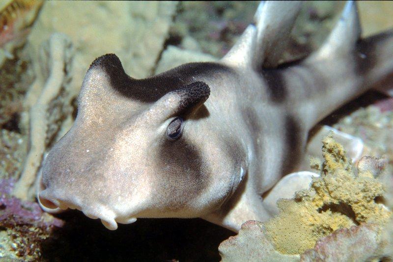 Crested Horn Shark, Heterodontus galeatus