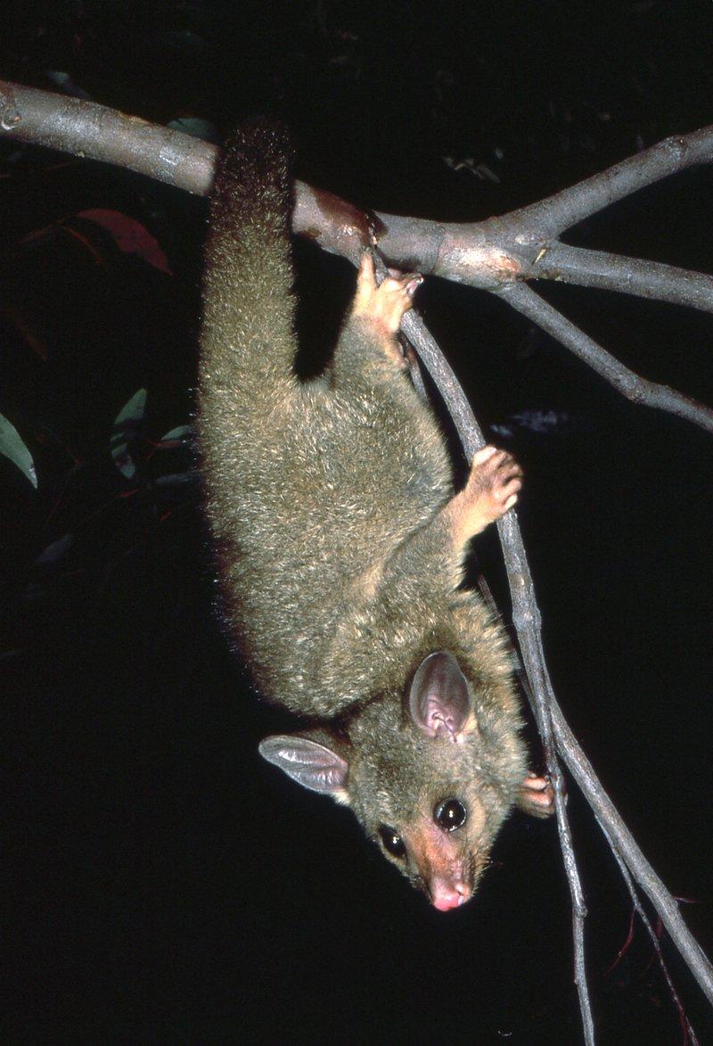 Common Brushtail Possum - The Australian Museum