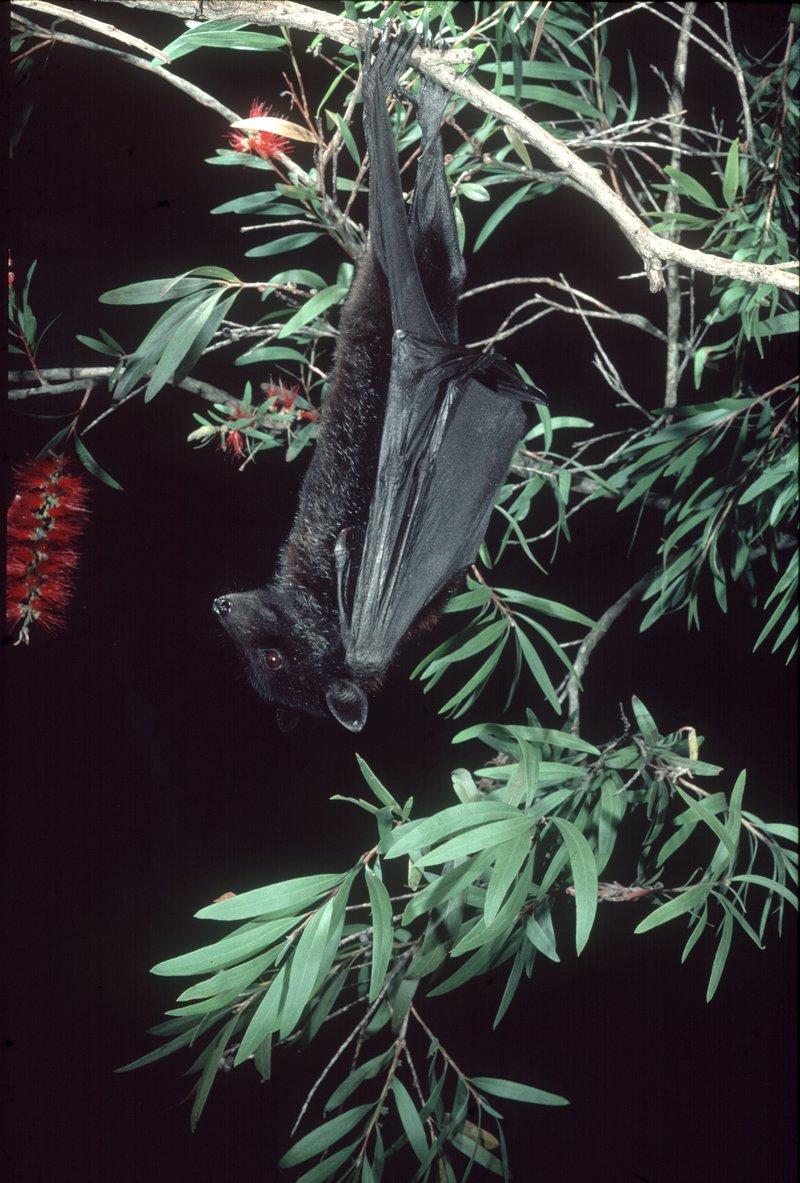 Pteropus alecto