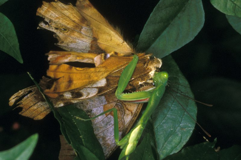Mantodea and Lepidoptera