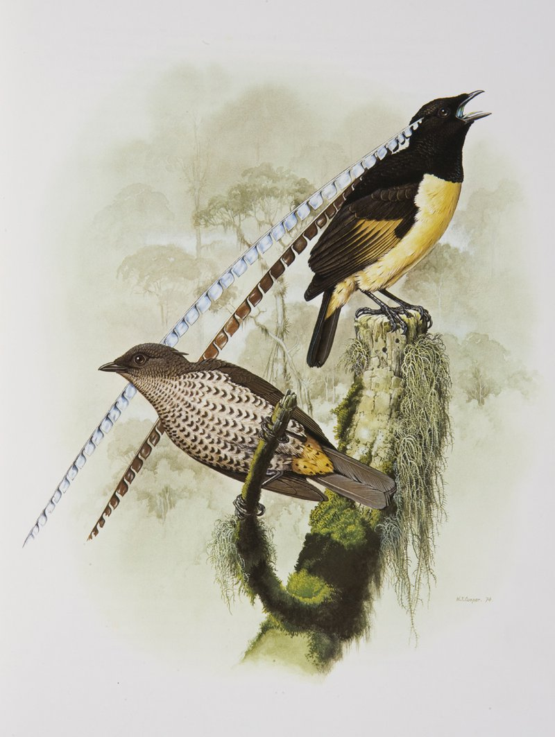 King of Saxony Bird of Paradise