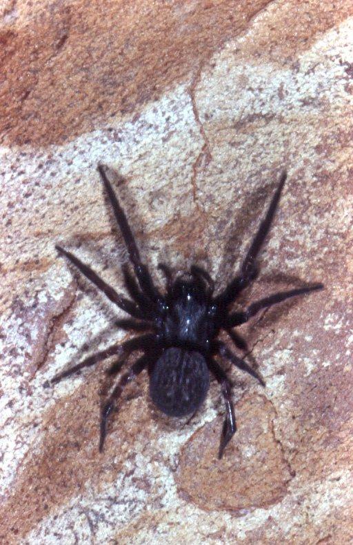 Black House Spider - The Australian Museum