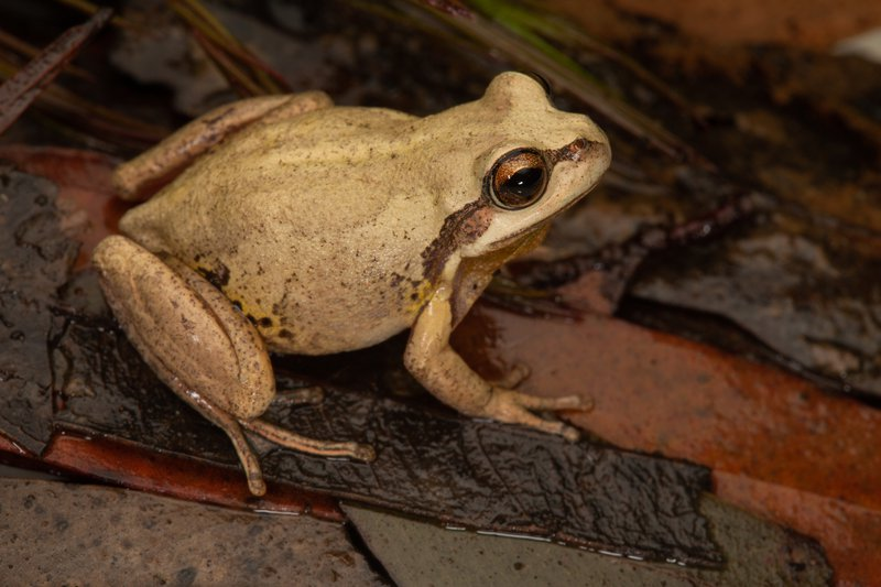 Verreaux's Tree Frog (Litoria verreauxii)