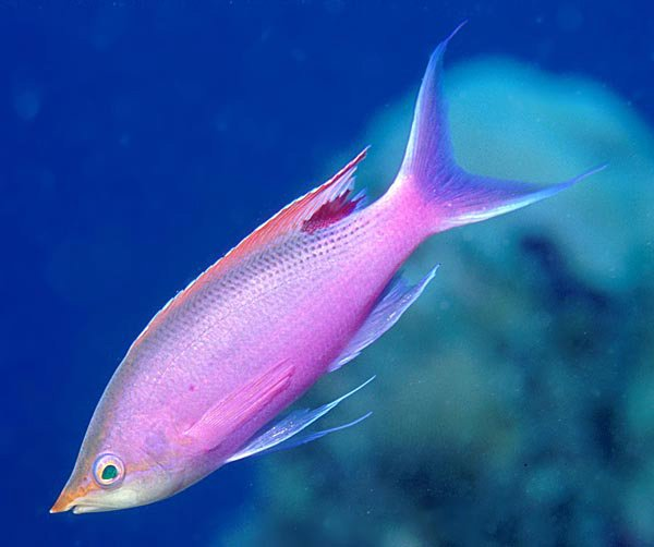 Male Purple Queen,<i> Pseudanthias tuka</i>