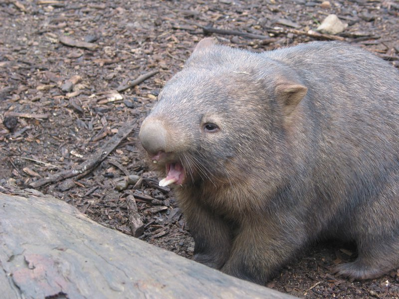 Common Wombat - The Australian Museum