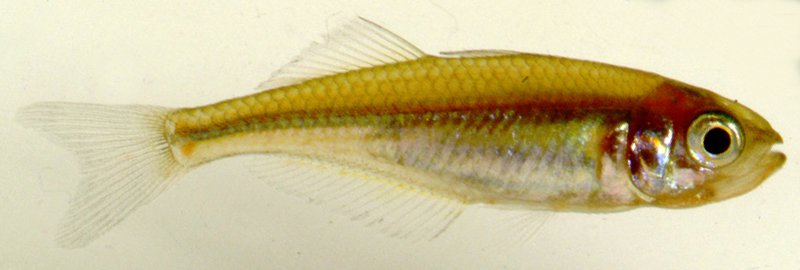 Duboulay's Rainbowfish, Melanotaenia duboulayi