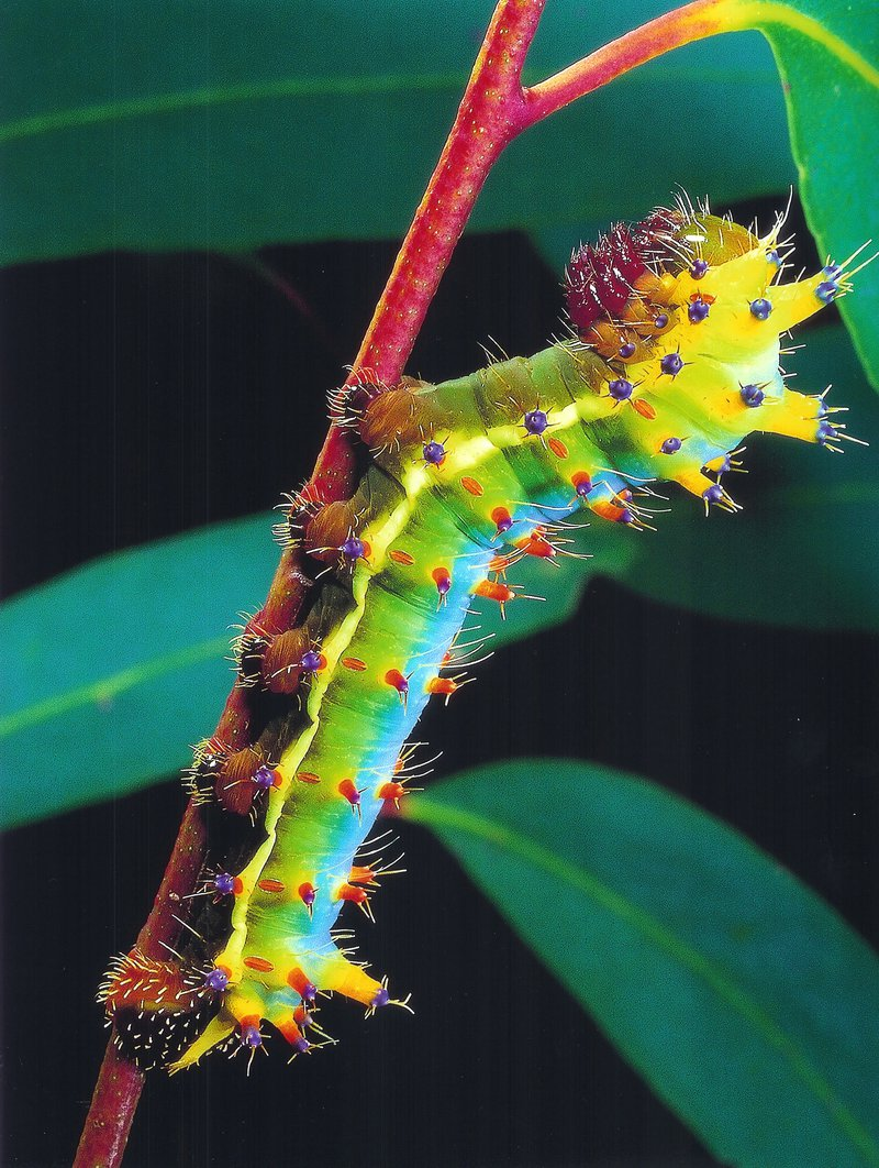 Emperor Gum Moth caterpillar